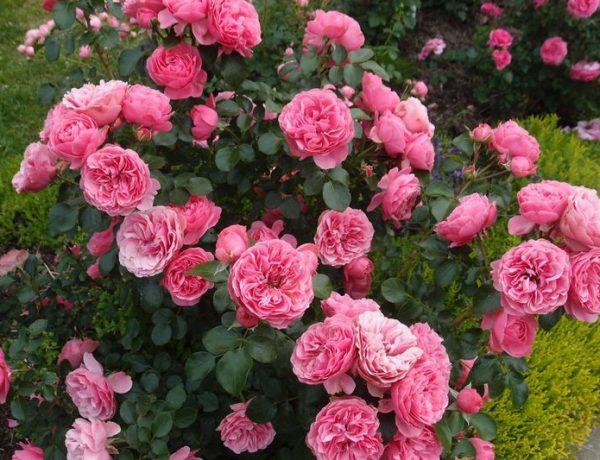 Роза Леонардо да Винчи: сорт, достойный памяти гения