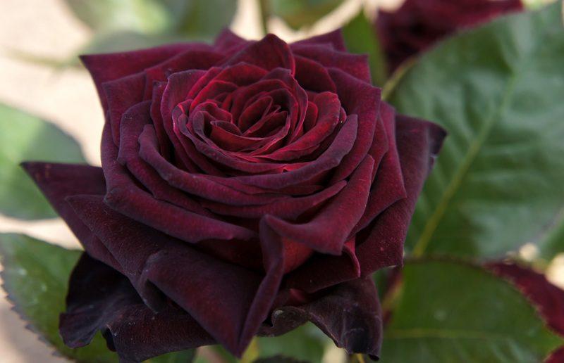 Роза Чёрный принц