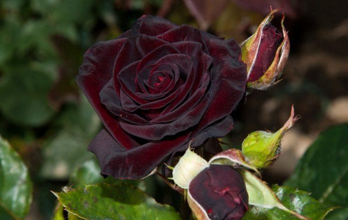 Кисть цветков розы Чёрный принц