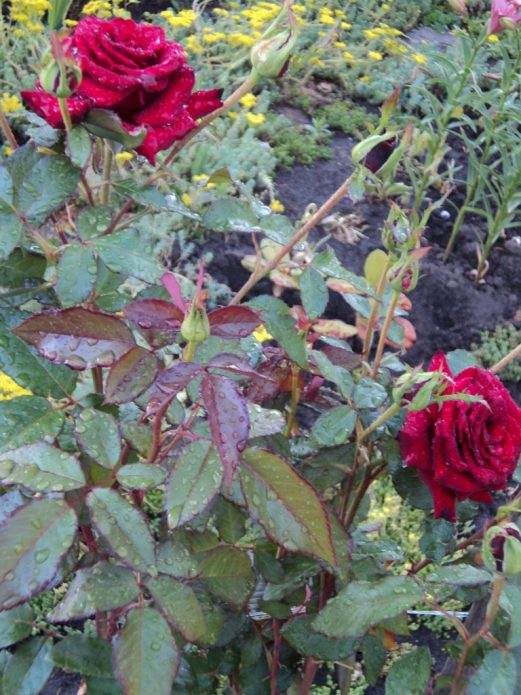 Листья розы Чёрный принц