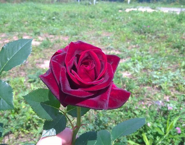 Роза Чёрный принц на солнце