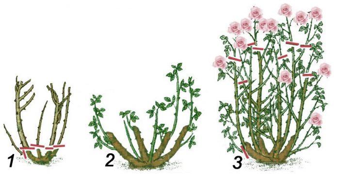 Обрезка розы в первые два сезона