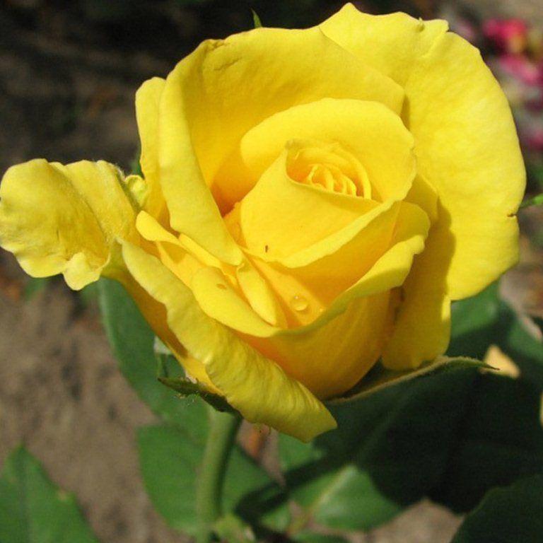 желтые розы сорта и виды фото с названием и описанием бесплатные картинки обои
