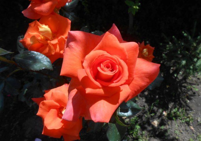 Розы Моника на солнце