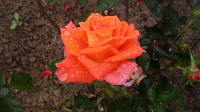 Капли воды на лепестках розы