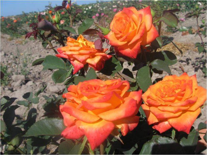 Розы Моника на кусте