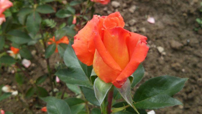 Бутон розы Моника