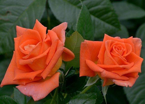 Листья розы Моника