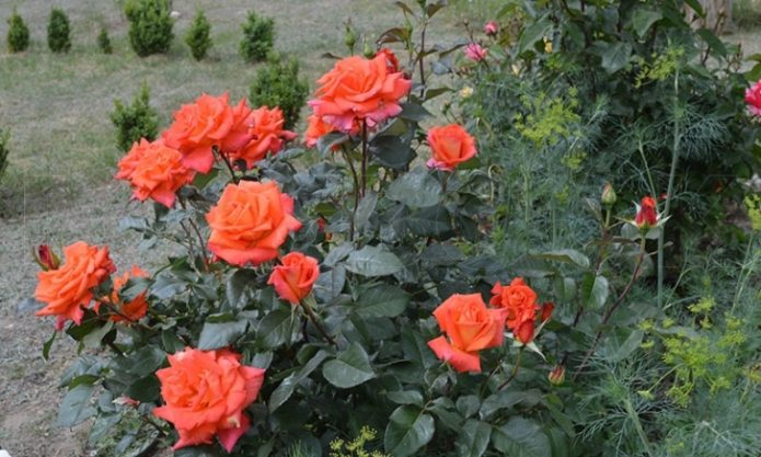 Куст роз Моника