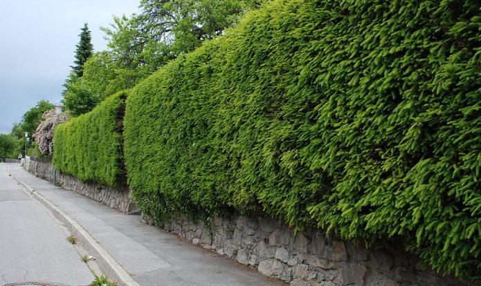 «Зелёный забор» из ели