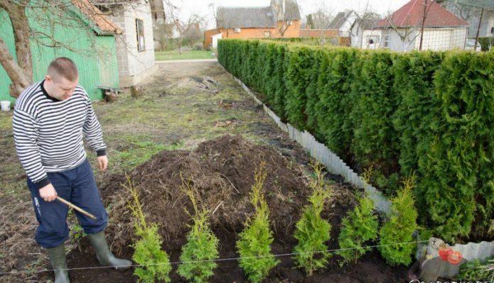 Процесс высадки живой изгороди из ели