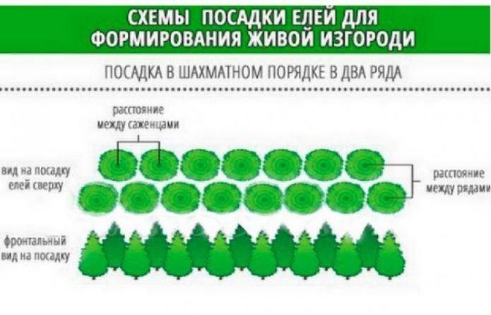 Схема высадки ели для живой изгороди