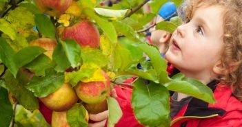Яблоки осенью