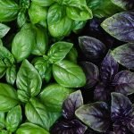 Зеленый и фиолетовый базилик