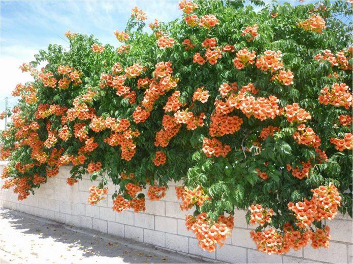 оранжевый кампсис на заборе