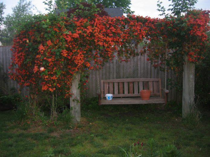 обильно цветет кампсис