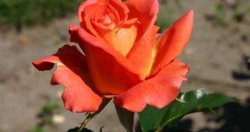 роза сорта Моника