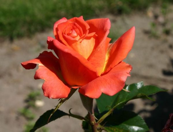 Моника: чайно-гибридные розы цвета пламени
