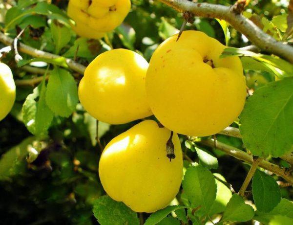 Айва обыкновенная — южный долгожитель в наших садах