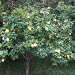 Айвовое дерево