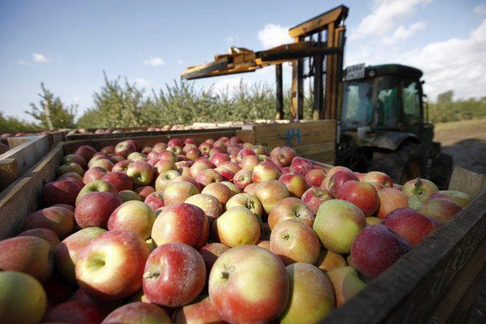 Промышленное выращивание осенних сортов яблок