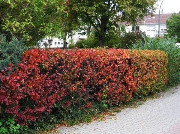 Живая изгородь из боярышника осенью