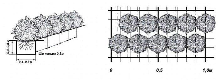 Схема высадки боярышника для живой изгороди