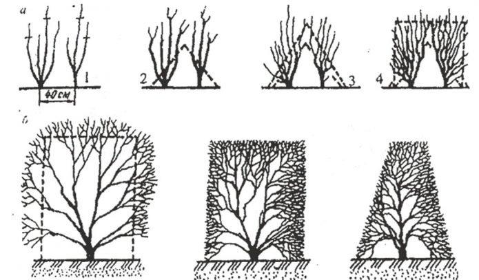 Варианты формирования живой изгороди