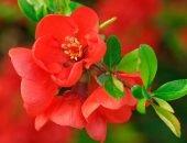 Цветки хеномелеса