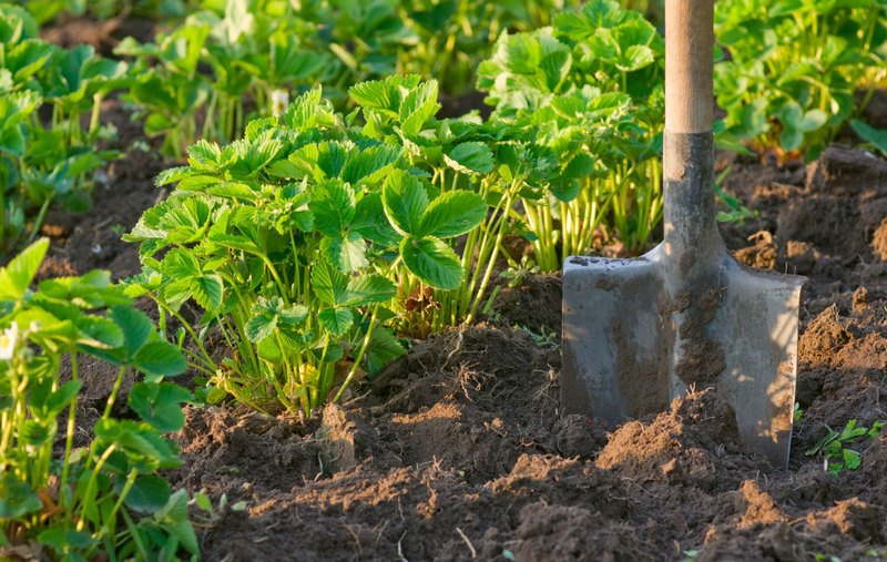 лопата на грядке клубники