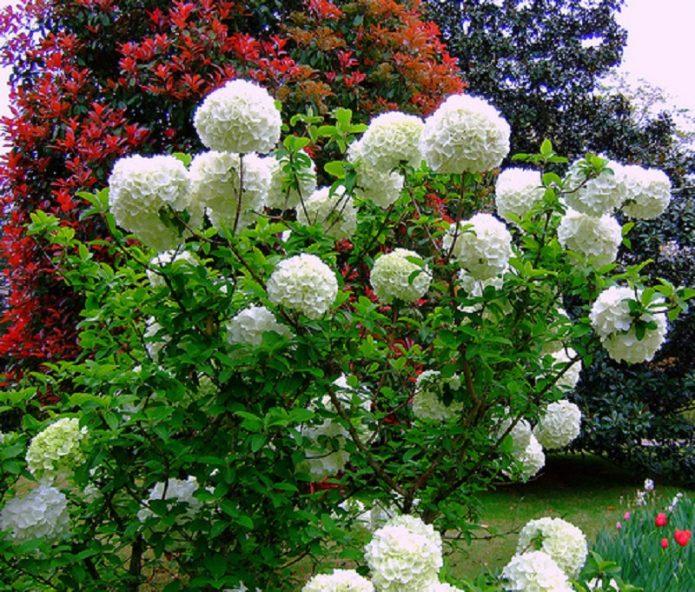 круглые соцветия бульденеж