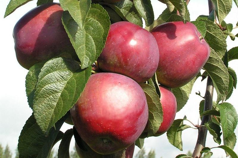 Яблоня Имант 🍎 : характеристика, описание сорта, фото, посадка и уход 🌱 Все о посадке и выращивании