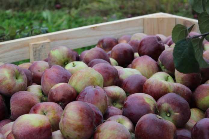 Яблоки Имант
