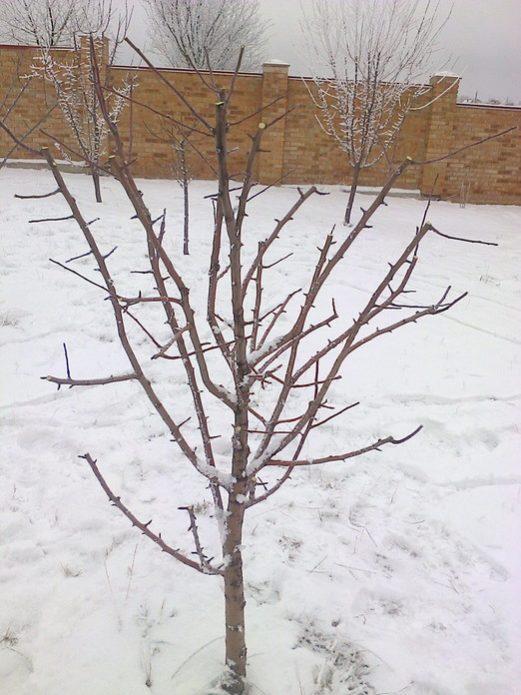 Плодовое дерево зимой после обрезки