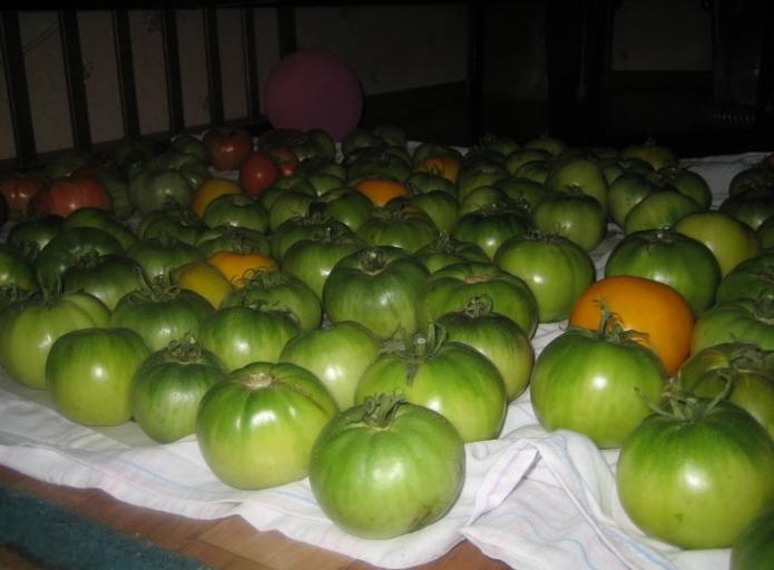 Недоспелые помидоры