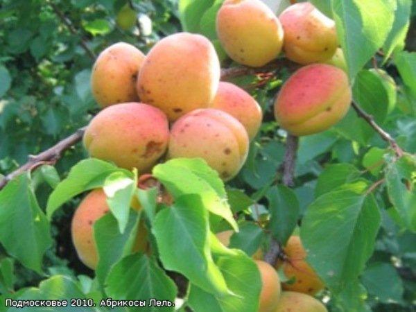 Плоды абрикоса Лель на ветке