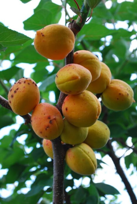 Плоды абрикоса Лель