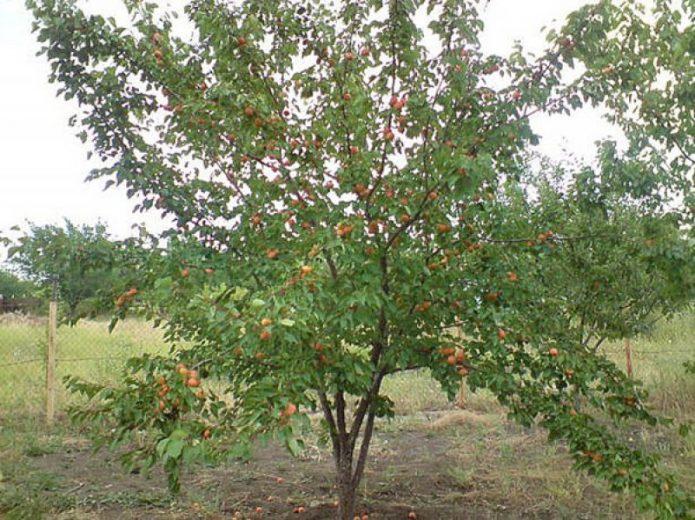 Дерево абрикоса Лель с плодами