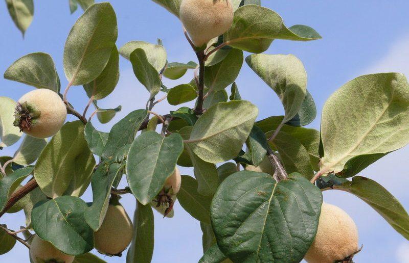 Плоды айвы на дереве