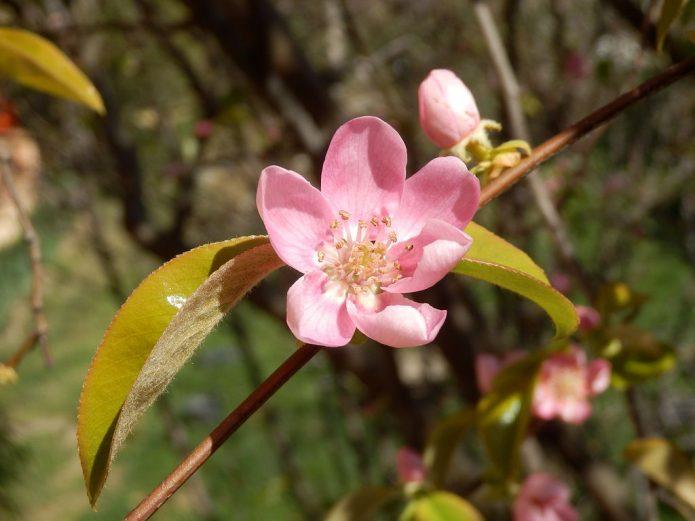 Цветок китайской айвы