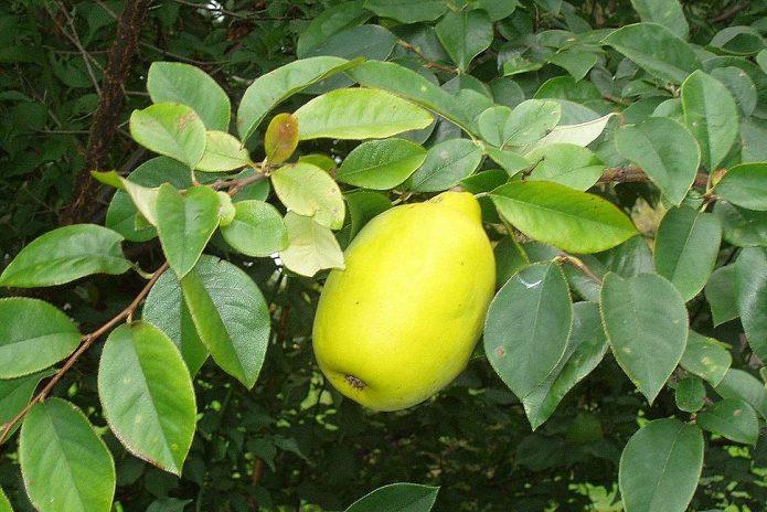 Плод айвы китайской