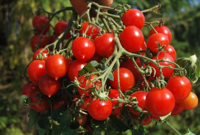 Кисть томата с большим количеством плодов