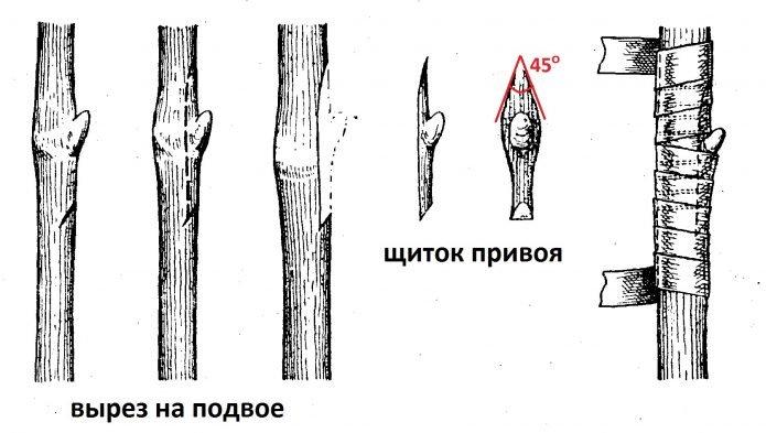 Прививка окулировкой