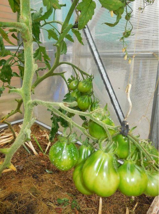 Кисть томатов на крючке