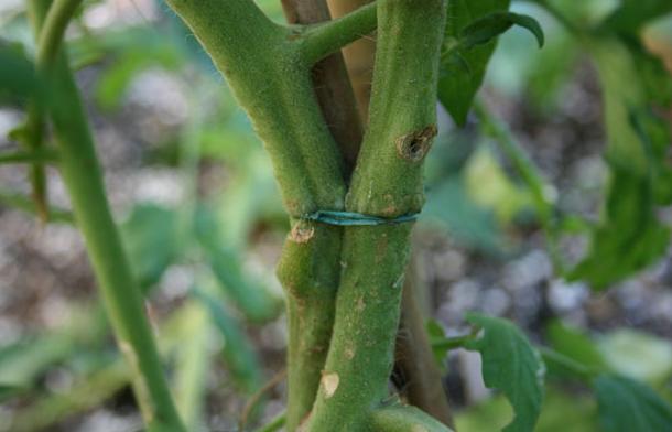 Верёвка врезалась в стебель томата