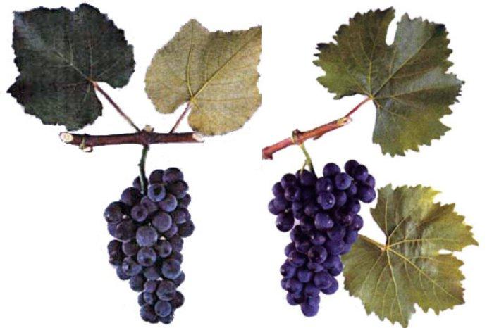 Виноград Изабелла и Альфа