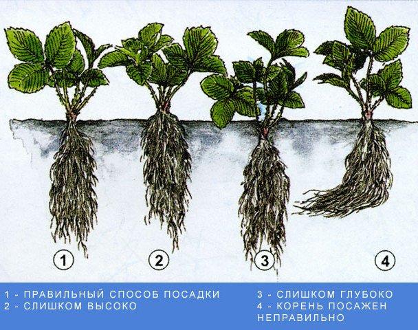 Схема высадки куста