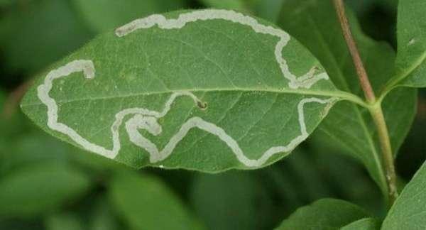 Лист растения, поражённый нематодами