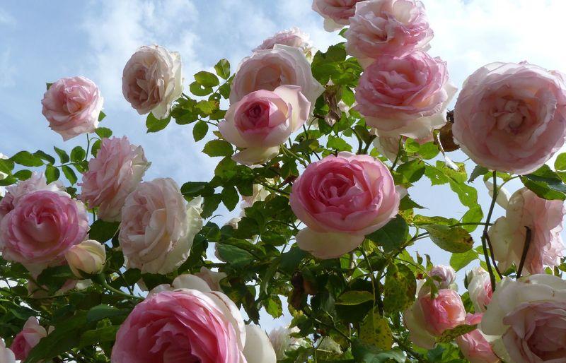 Роза Пьер де Ронсар