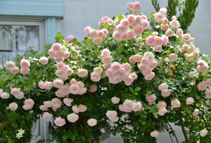 Куст роз сорта Пьер де Ронсар